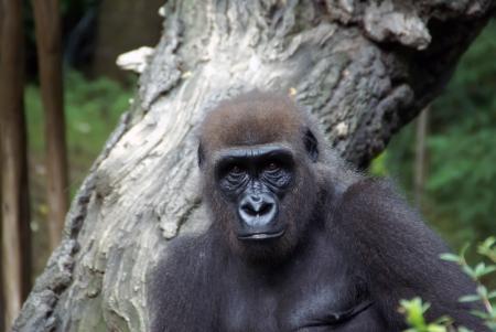 lowland: Western lowland female gorilla  Stock Photo