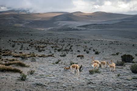 vicuna: The vicuna or vicugna is one of two wild South American camelids, along with the guanaco, which live in the high alpine areas of the Andes   Stock Photo