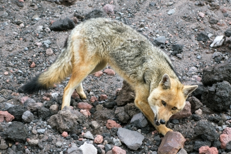 canid: The culpeo sometimes known as the culpeo zorro or Andean fox  wolf , is a South American species of wild dog  It is the second largest native canid on the continent, after the maned wolf