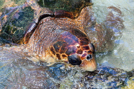 oceanic: The loggerhead sea turtle Caretta caretta is an oceanic turtle distributed throughout the world. It is a marine reptile, belonging to the family Cheloniidae. Stock Photo