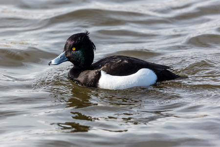 Tufted duck in the lake Tjornin, Reykjavik, Iceland. Easily recognizable by its purplish-blackwhite appearance and the tuft on the head. Stock Photo