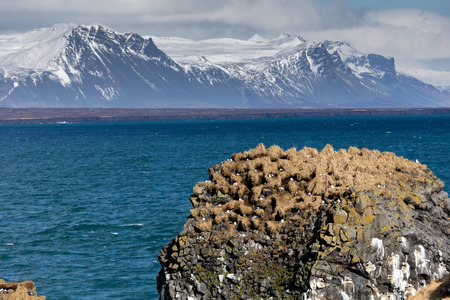 nesting: Sea cliffs that teem with sea birds in the nesting season at the Snaefellsjokull National Park on the Snaefellsnes peninsula in Iceland.