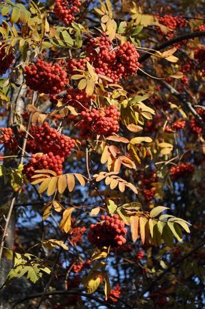 ash tree: Frutti di albero di montagna di cenere. Archivio Fotografico