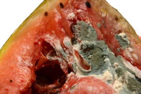 Moldy rotting watermelon on a white background. Close-up