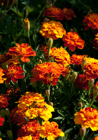 enano: Flowering dwarf tagetes in the sunny morning. Foto de archivo