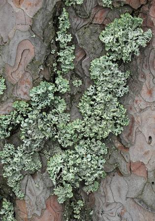 lichen: Lichen on the bark of pine trees.