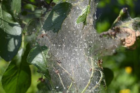 Gniazdo gąsienic owoców gronosta (Yponomeuta padellus) na śliwki Zdjęcie Seryjne