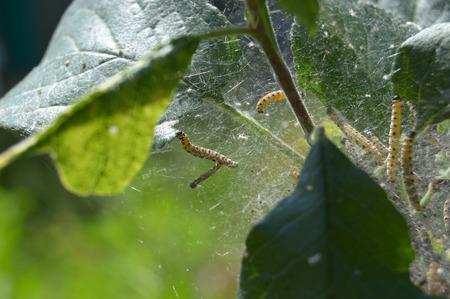 Gąsienice owocowe (Yponomeuta padellus) na śliwce
