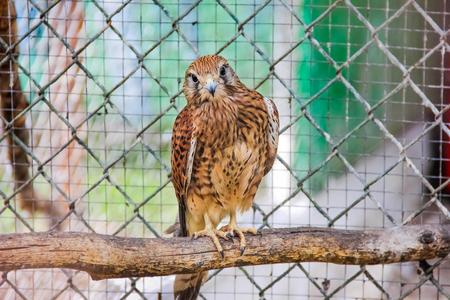 Falcon in a cage