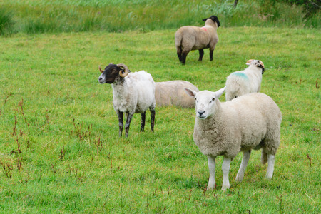 kerry: Ring of Kerry Sheep