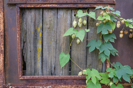 boarded: Metal wall with rust. Boarded up with wooden planks window. Hanging branches of hops Stock Photo