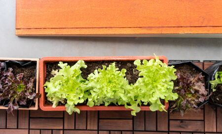 Organic vegetable in orange plastic pot or home planting on wooden floor.
