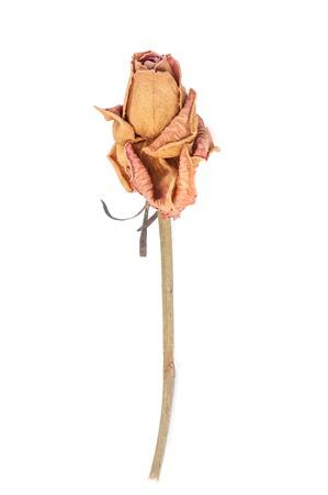 Dry Rose on white background Standard-Bild