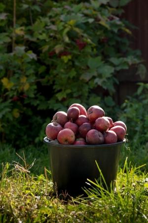 pail of fresh ripe apples in garden on green grass
