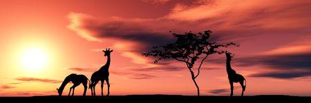 uncultivated:  of giraffes in savanna