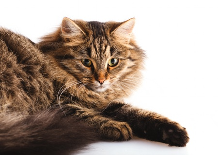 fluffy cat on overwhite background with shadow Stock Photo - 8224481