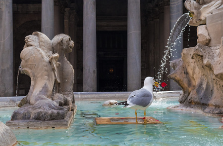 Rome, Italy - 4 December 2016 - A quaint and charming attraction of the capital of Italy: the fountain of Pantheon with seagull