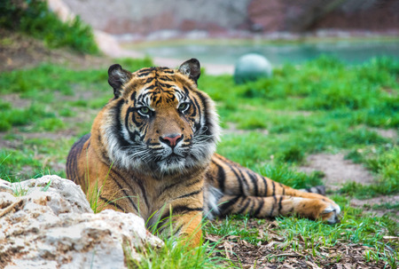 Rome, Italy - 1 April 2017 - A visit to the Biopark, a zoological park in the heart of Rome in Villa Borghese. In this photo in particular: the tiger Editorial