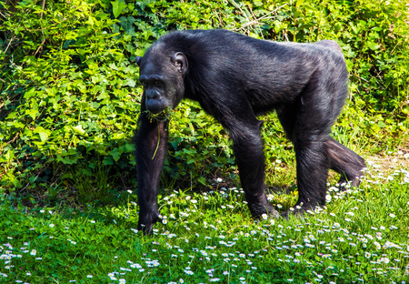 Rome, Italy - 1 April 2017 - A visit to the Biopark, a zoological park in the heart of Rome in Villa Borghese. In this photo in particular: the chimpanzee
