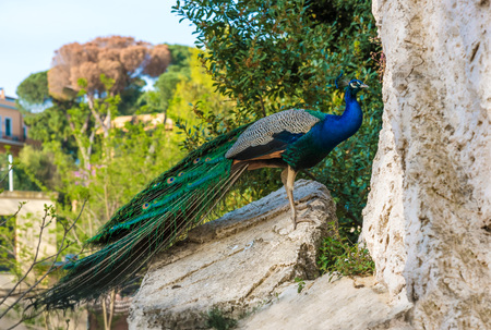 Rome, Italy - 1 April 2017 - A visit to the Biopark, a zoological park in the heart of Rome in Villa Borghese. In this photo in particular: the peacock