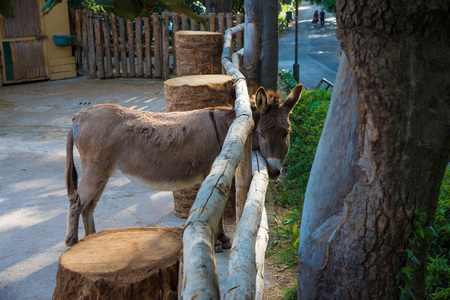 Rome, Italy - 1 April 2017 - A visit to the Biopark, a zoological park in the heart of Rome in Villa Borghese. In this photo in particular: the donkey