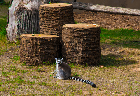 Rome, Italy - 1 April 2017 - A visit to the Biopark, a zoological park in the heart of Rome in Villa Borghese. In this photo in particular: the lemur