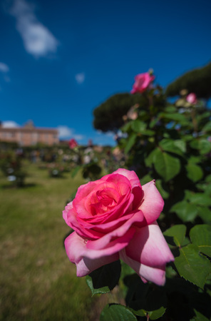 Rome, Italy - Roses in the historic center during the spring