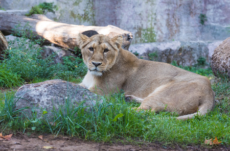 Rome, Italy - 27 October 2017 - The animals of Biopark, a zoological park in the heart of Rome in Villa Borghese. In this photo in particular: the lion Editorial