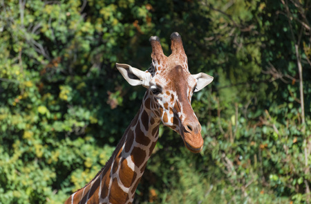 Rome, Italy - 27 October 2017 - The animals of Biopark, a zoological park in the heart of Rome in Villa Borghese. In this photo in particular: the giraffe