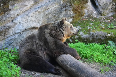 Rome, Italy - 27 October 2017 - The animals of Biopark, a zoological park in the heart of Rome in Villa Borghese. In this photo in particular: the bear