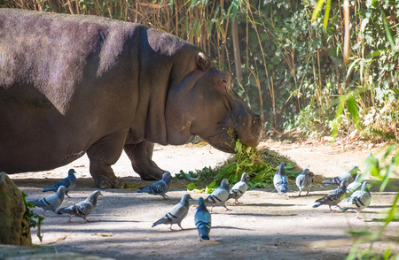 Rome, Italy - 27 October 2017 - The animals of Biopark, a zoological park in the heart of Rome in Villa Borghese. In this photo in particular: the hippo