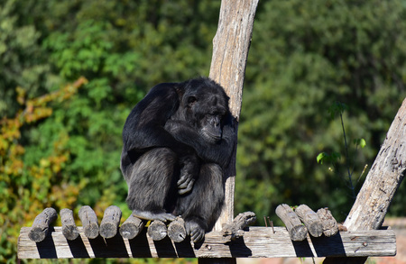 Rome, Italy - 27 October 2017 - The animals of Biopark, a zoological park in the heart of Rome in Villa Borghese. In this photo in particular: the chimpanzee