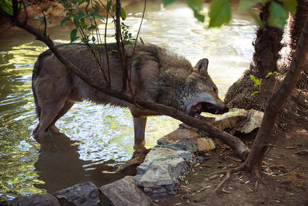 Rome, Italy - 27 October 2017 - The animals of Biopark, a zoological park in the heart of Rome in Villa Borghese. In this photo in particular: the wolf Editorial