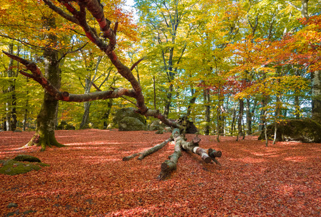 Soriano nel Cimino (Italy) - The autumn in the beechwood of Monte Cimino with foliage. This forest in the summit of Cimino mountain