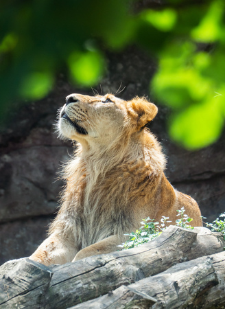 Rome, Italy - 26 August 2018 - The animals of Biopark, a zoological park in the heart of Rome in Villa Borghese. In this photo in particular: the lion Editorial