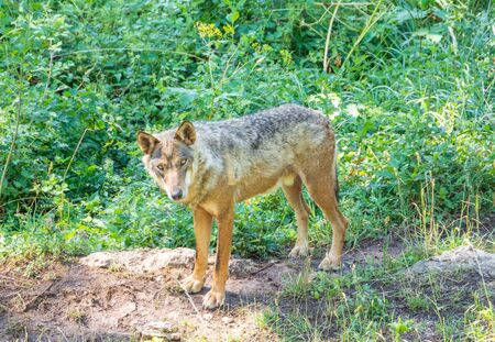 National Park of Abruzzo, Lazio and Molise (Italy) - The summer in the italian mountain natural reserve, with wild animals, little old towns, the Barrea Lake. Here: the wolf Reklamní fotografie
