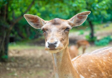 National Park of Abruzzo, Lazio and Molise (Italy) - The summer in the italian mountain natural reserve, with wild animals, little old towns, the Barrea Lake. Here: the fallow deer
