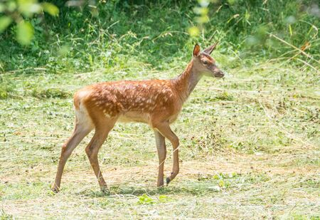 National Park of Abruzzo, Lazio and Molise (Italy) - The summer in the italian mountain natural reserve, with wild animals, little old towns, the Barrea Lake. Here: the little deer Reklamní fotografie