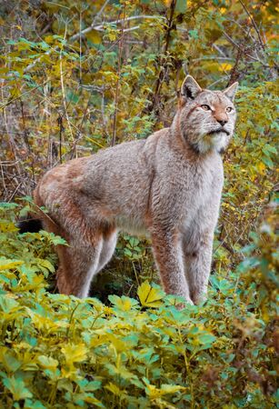 National Park of Abruzzo, Lazio and Molise (Italy) - The autumn with foliage in the italian mountain natural reserve, with little towns, wild animals like lynx, Barrea Lake, Camosciara, Forca d'Acero Stock Photo