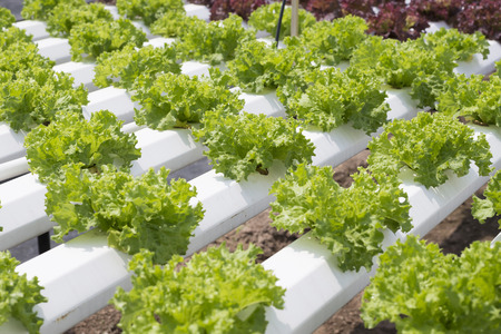 green lettuce in hydroponics farm