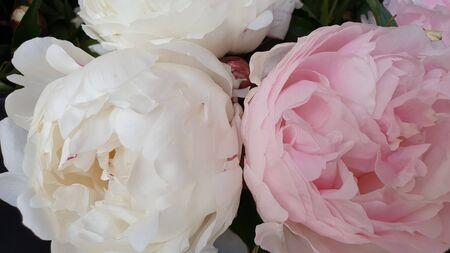 Pink peony petals delicate rose flower peonies