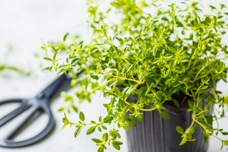 Young leaves of thyme in pot, seedlings. White background, garden concept