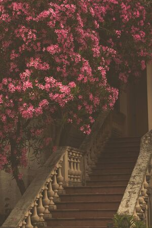 Staircase to the house and flowering oleander on the streets of Montenegro.