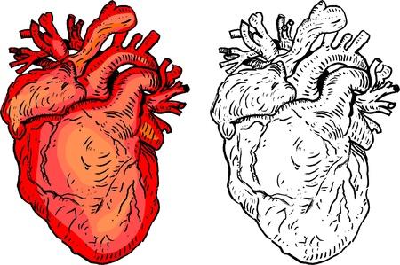 Human heart Stock Vector - 19299394