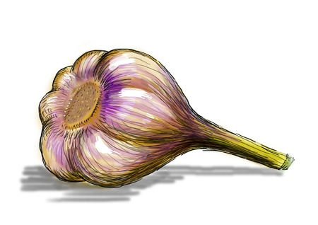 Illustration of garlic Stock fotó