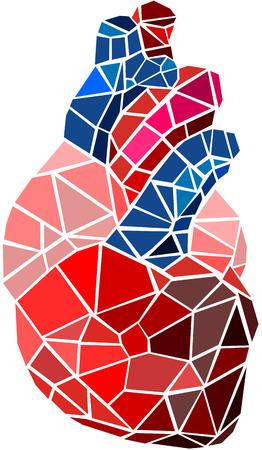 anatomia humana: Coraz�n humano