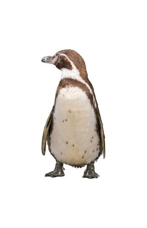 Magellanic Penguin, Spheniscus magellanicus, or  South American penguin isolated on white background 版權商用圖片