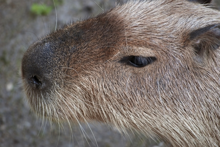 Close up of capybara (Hydrochoerus hydrochaeris ), largest living rodent in the world.