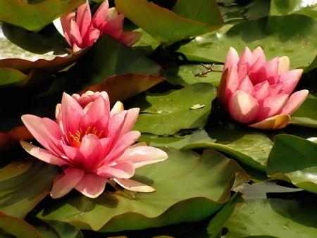 Lirios rosados ??de agua Foto de archivo - 15226519