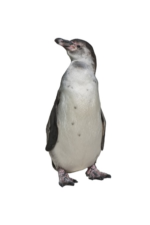 Humboldt Penguin (Spheniscus humboldti), or Peruvian Penguin, or Patranca, a South American penguin, isolated on white background